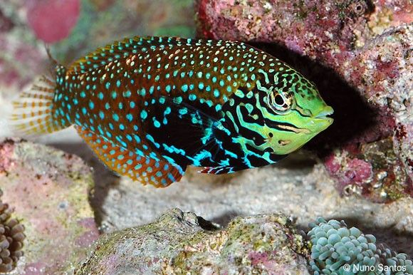 (Divided Leopard Wrasse)