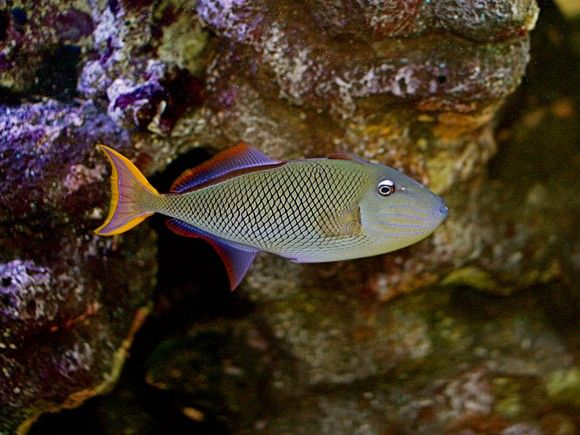 (Crosshatch Trigger Fish)