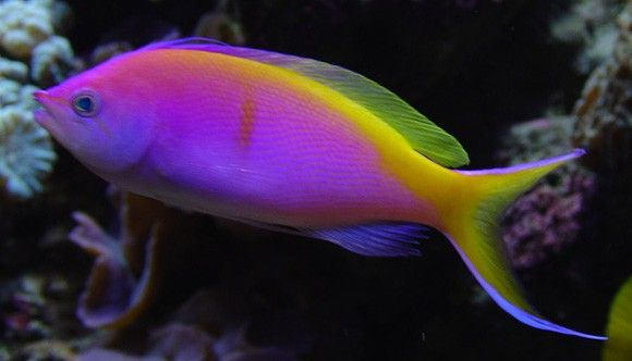 (Bartletts Anthias)