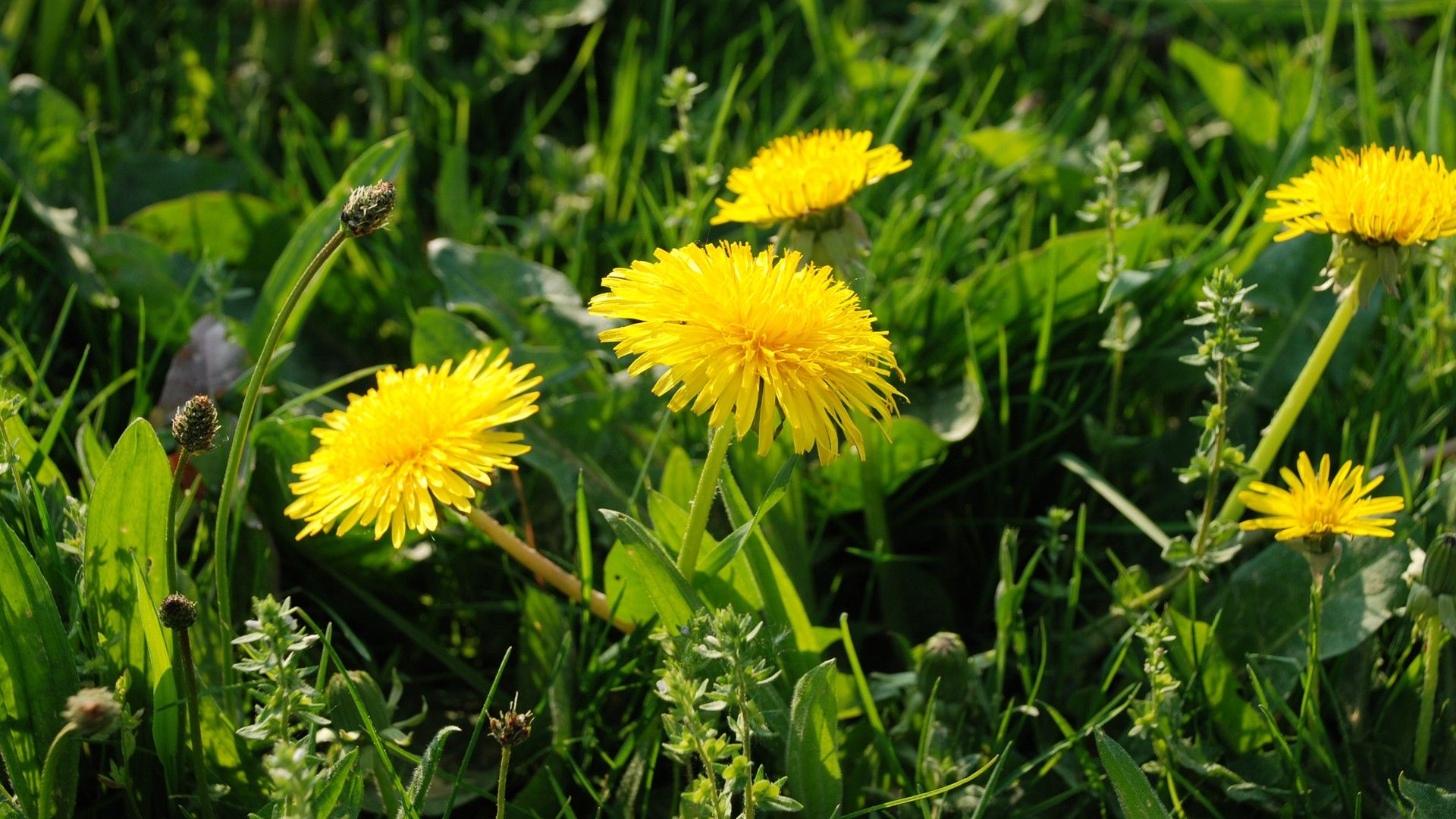 dandelion-flower-wallpaper-1920x1080-1522